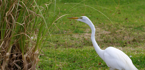 Great Egret hunts a meal on a Florida lawn