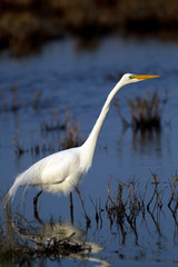 Great Egret hunts a meal in a coastal marsh at sundown