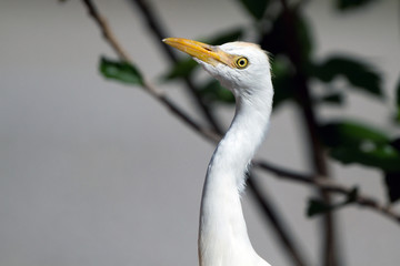 Great Egret juvenile in Florida