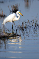 Great Egret catches a fish in a coastal marsh at sundown
