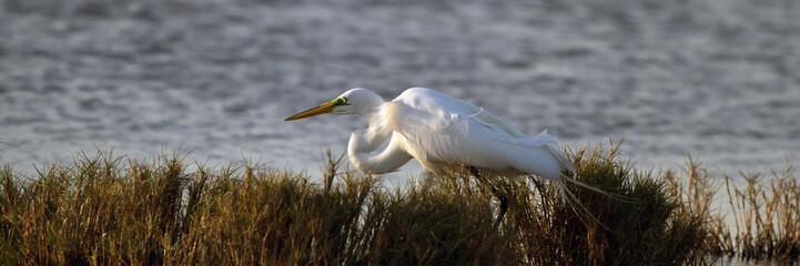Great Egret hunts a meal in a coastal marsh at sundown