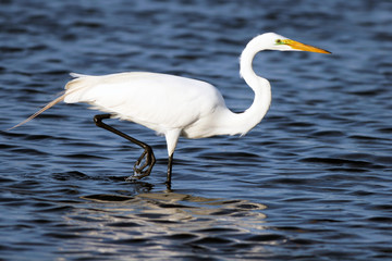 Great Egret in breeding plumage wades in blue water