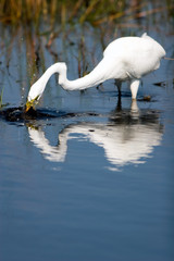 Great Egret plunges for a fish, with splashes and a beautiful reflection