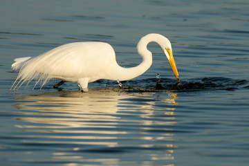 Great Egret in breeding plumage catches a fish, with beautiful reflections