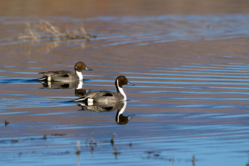 Northern Pintails in beautiful water at Bosque del Apache National Wildlife Refuge