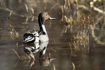 Northern Pintail drake with mirror-like full-body reflection