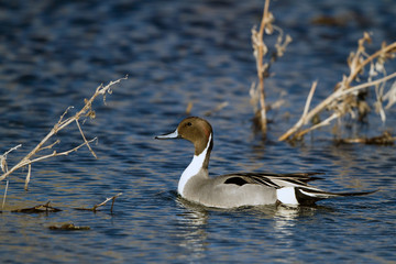 Northern Pintail drake in beautiful light