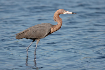 Reddish Egret wades in the Atlantic Ocean