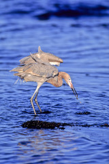 Reddish Egret catches a fish in the Atlantic Ocean