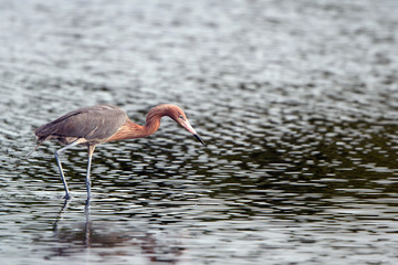 Reddish Egret hunts in the Atlantic Ocean