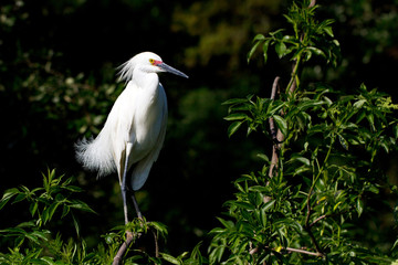 Snowy Egret male in breeding plumage, showing variation of rare pink lores and feet