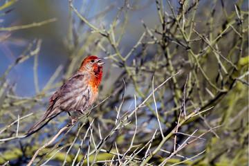 House Finch male in breeding plumage sings in a Palo Verde tree