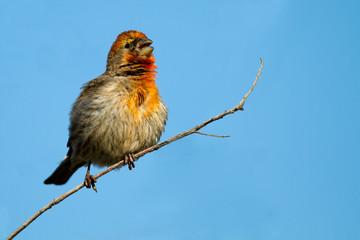 Male House Finch in breeding plumage sings in spring