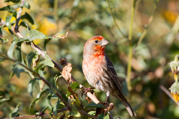 House Finch male poses in a California shrub