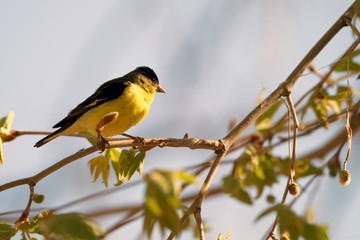 Lesser Goldfinch male in spring breeding plumage