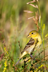 Lesser Goldfinch female amid yellow flowers in spring