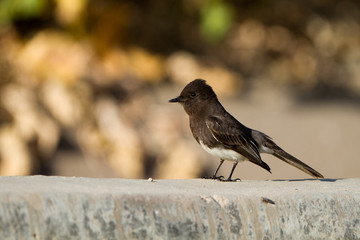 Black Phoebe in southern California
