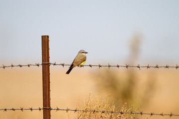 Cassin's Kingbird on a barbed-wire fence in the Texas Panhandle