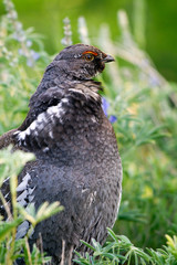 Blue Grouse in Black Canyon of the Gunnison National Park in Colorado
