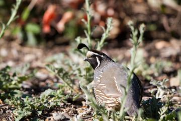California Quail male in breeding plumage