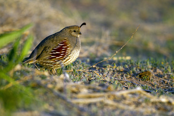 Female Gambel's Quail in the Sonoran Desert  in Arizona