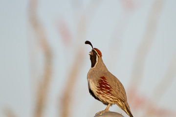 Male Gambel's Quail calls in spring in the Sonoran Desert  in Arizona, with Ocotillo cactus stems in the background