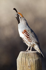 Male Gambel's Quail calls in spring at Elephant Butte State Park in New Mexico