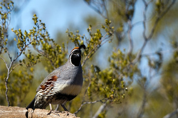 Male Gambel's Quail in spring in Bosque del Apache National Wildlife Refuge in New Mexico