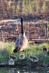Canada Goose adult and chicks