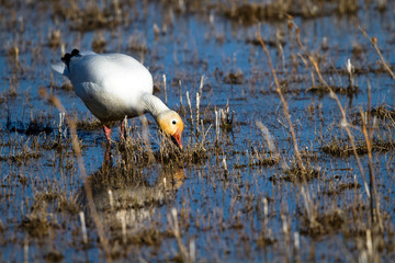 Snow Goose feeds on emergent grass in early spring in Bosque del Apache National Wildlife Refuge in New Mexico