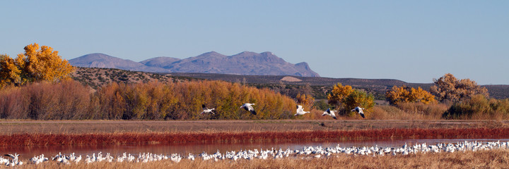 Snow Geese fly over Bosque del Apache National Wildlife Refuge