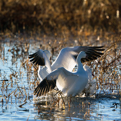 Two backlit Snow Geese in Bosque del Apache National Wildlife Refuge in New Mexico