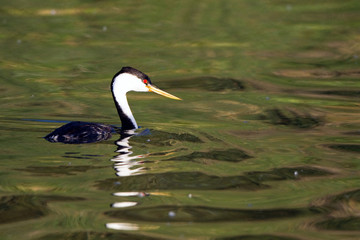 Western Grebe swims in the marsh in Bosque del Apache National Wildlife Refuge in New Mexico