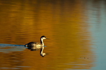 Western Grebe with reflected autumn colors in Bosque del Apache National Wildlife Refuge in New Mexico