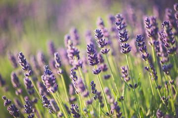 Foto op Canvas Lavendel Lavender