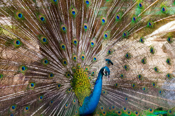 Peacock green Feathers blue birds