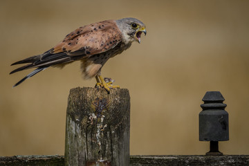 Fototapete - Hunting Male Kestrel