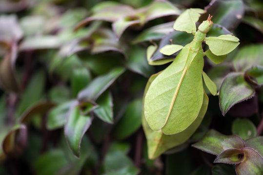 Phyllium giganteum, leaf insect