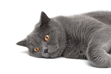 gray cat with yellow eyes lying on white background