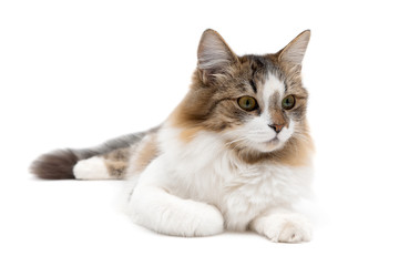 fluffy cat close up lying on a white background