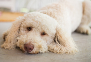 Labradoodle lays on floor