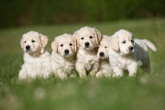 Litter of five golden retriever puppies