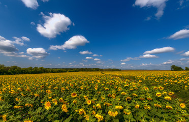 field with sunflowers where the moving clouds