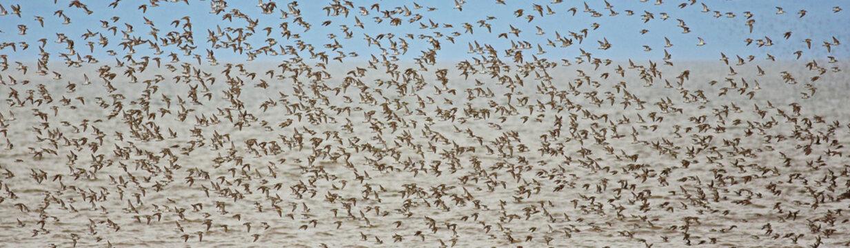 Shorebirds Pipers Plovers Flight