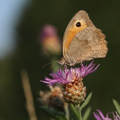 The Meadow brown (Maniola jurtina) are sitting on the flower.