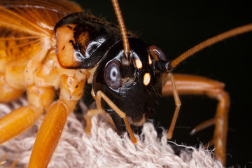 cricket bug, large brown and black head of Tarbinskiellus portentosus in the forest, Thailand