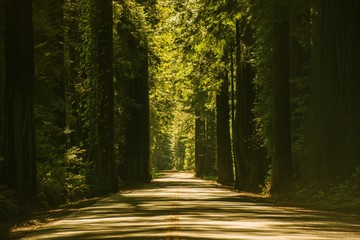 Wall Mural - Giant Redwood Trees Road