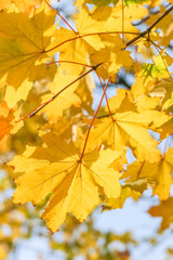 Yellow maple leaves close up, backlit