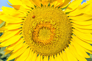 Yellow sunflower and red ladybird