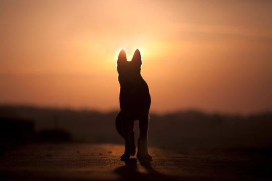 Dog backlight silhouette in sunset